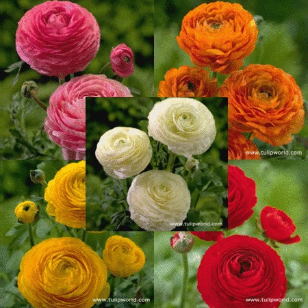 Mixed Ranunculus Collection