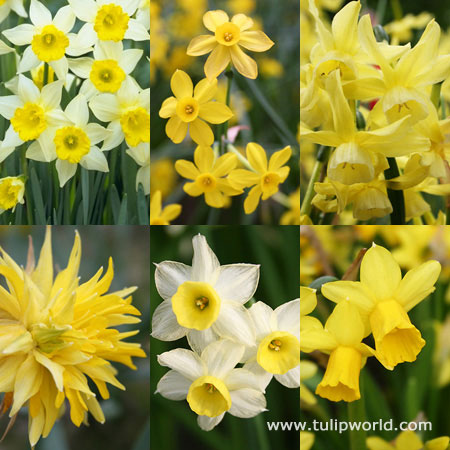 Miniature Daffodil Collection - 32154