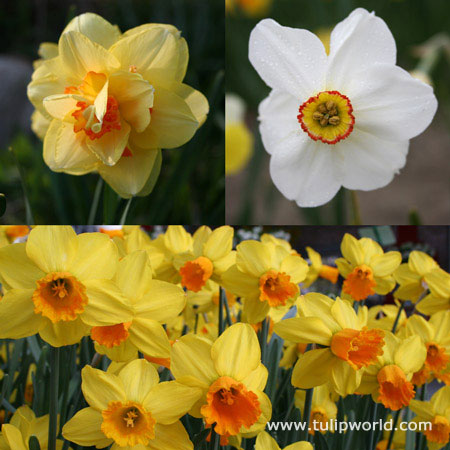 All Spring Blooming Daffodil Collection