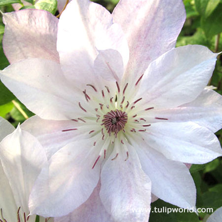 Tracey Lee Clematis Vine