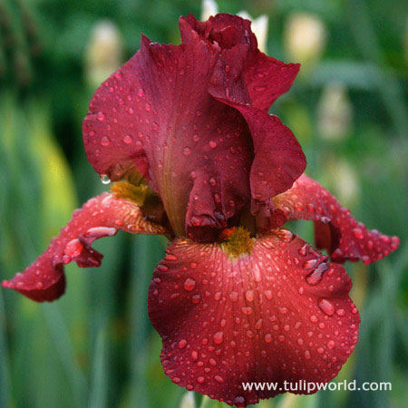 Warrior King Bearded Iris