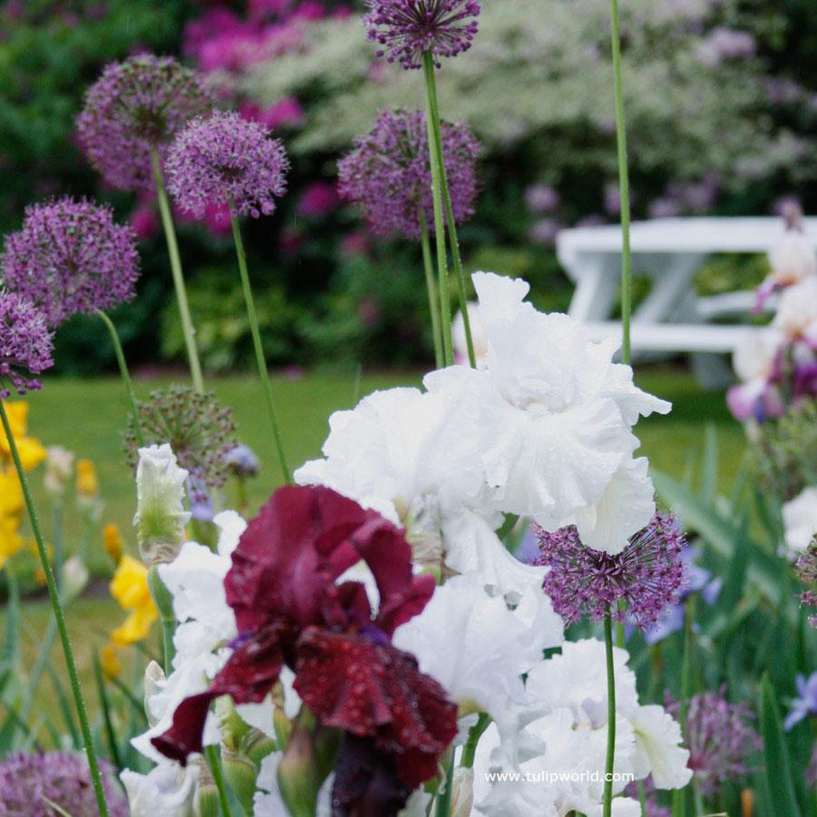 Classic Colors Iris/Allium Collection